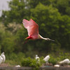 Roseate Spoonbill, High Island, TX, May 1, 2010