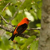 Scarlet Tanager, High Island, TX, May 1, 2010