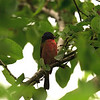 Painted Bunting, High Island, TX, May 1, 2010