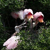 Roseate Spoonbills with chick, High Island, TX, May 1, 2010