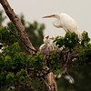 Great Egret with chicks, High Island, TX, May 1, 2010