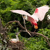 Roseate Spoonbills add to their nest, High Island, TX, May 1, 2010