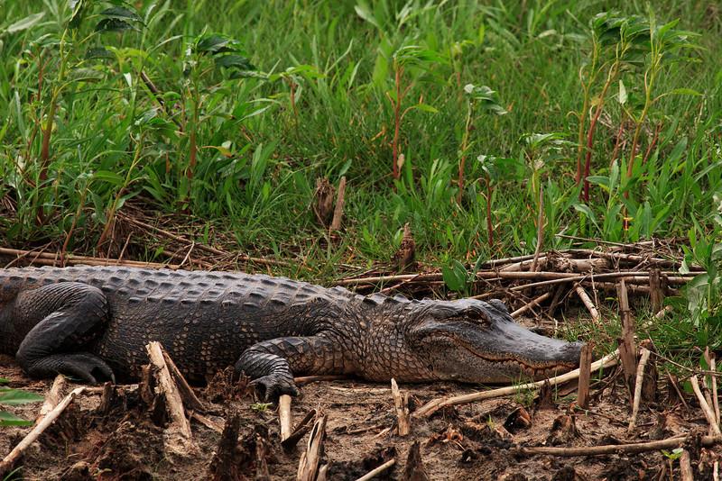 American Alligator, Anahuac National Wildlife Refuge, TX, May 1, 2010