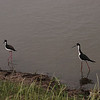 Black-necked Stilts, Anahuac National Wildlife Refuge, Tx, May 1, 2010