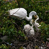 Great Egret feeds her chicks, High Island, TX, May 1, 2010