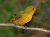 Female Summer Tanager.