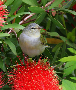 Tennessee Warbler on a Bottlebrush bloom.