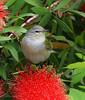 Tennessee Warbler on a Bottlebrush bloom.