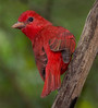 male Summer Tanager.