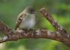 Acadian Flycatcher.
