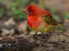 Summer Tanager in transition.