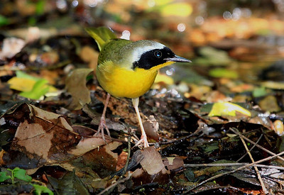 Common Yellowthroat.