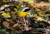 Common Yellowthroat.