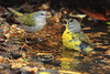 A Tennessee Warbler and a Nashville Warbler fight for bath space.