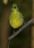 Female Painted Bunting.