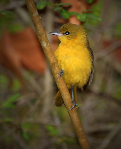 Female Orchard Oriole.