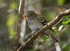An Acadian Flycatcher has a mealworm.