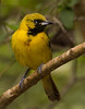 First Summer male Orchard Oriole.