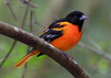 Adult male Baltimore Oriole, a target bird for me this year.