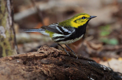 Black-throated Green Warbler.