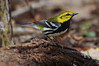 Black-throated Green Warbler.
