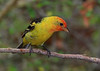 Western Tanager, immature male.