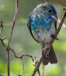 Immature male Indigo Bunting.