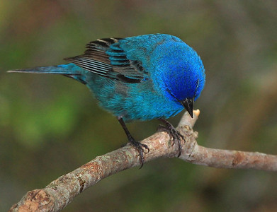 Male Indigo Bunting. This species photographs favorably with flash, giving an irridescent look.