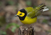 Hooded Warbler, male.