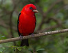 Male Scarlet Tanager.