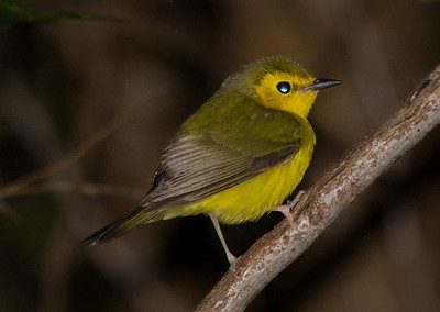 Immature Hooded Warbler.