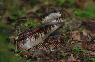 This rat snake roamed the area in front of the photo blind calmly until a rabbit walked within 4 feet of it, drawing this reaction.