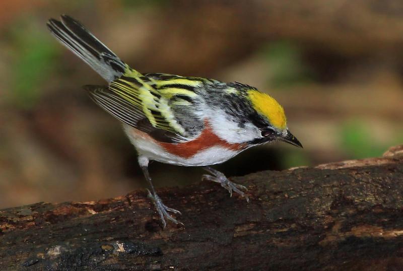 Chestnut-sided Warbler, male.