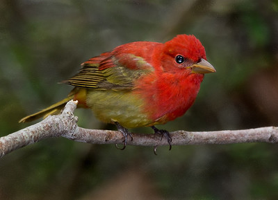 Male Summer Tanager in transition.