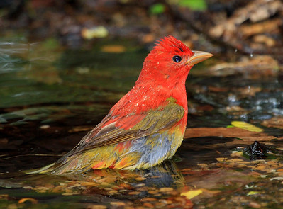Summer Tanager, first spring male.
