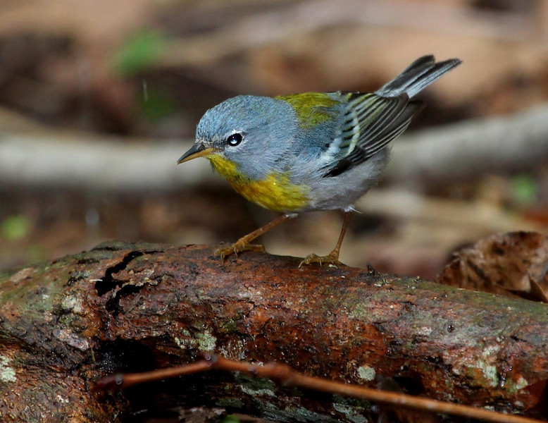 Northern Parula, male.