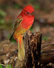 Male Summer Tanager in transition plumage.