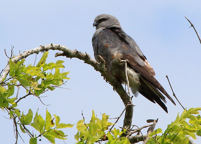 Mississippi Kite in a tree near the photo Blind.