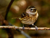 female Rose-breasted Grosbeak,