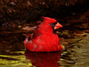 May 14, 2010, Cardinal at south drip in Boy Scout Woods photo blind.
