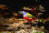 male Painted Bunting in full sun