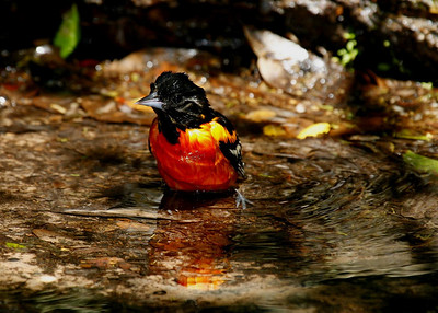Baltimore Oriole, male, bathing