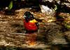 Baltimore Oriole, male, bathing