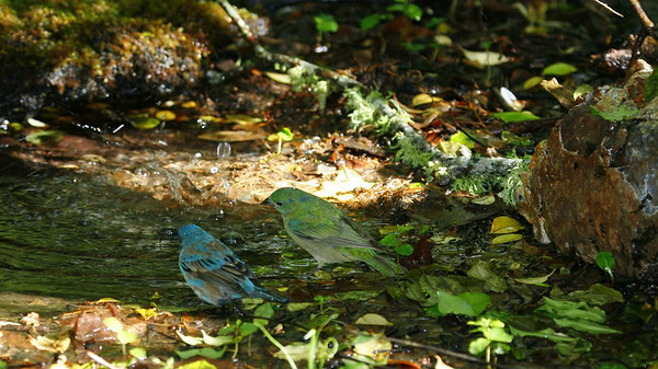 A female Painted Bunting, right, with an Indigo Bunting.