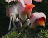 Roseate Spoonbills fight at the rookery, Smith Oaks.