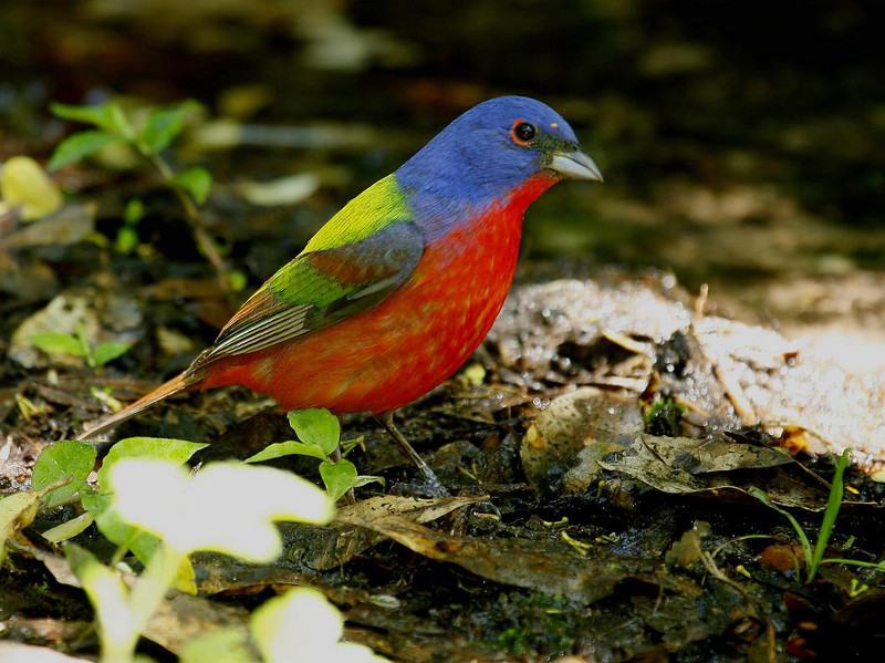 Male Painted Bunting. All but the last 14 shots in this gallery were taken at Boy Scout Woods, High Island Texas between 7:20 AM and 7:30 PM, April 26, 2010 at distances of 5 feet to 15 feet. The last 14 were walk-around shots at High Island in May at both locations. People come from all over the world to view and photgraph birds here. Days like April 26th keep them coming back.