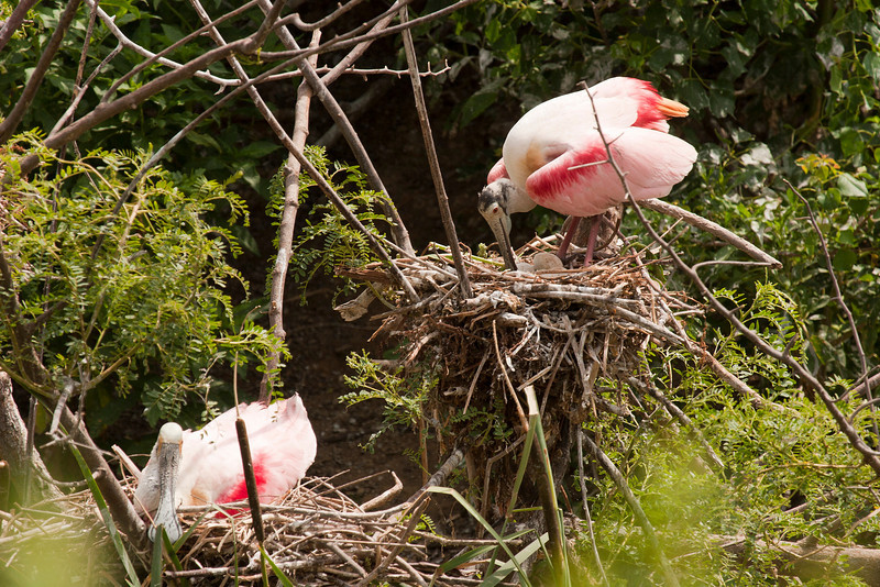 A Roseate Spoonbill adjusts her eggs.