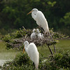 Great Egrets with chicks.