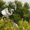 A Great Egret brings in some new materials for the nest.