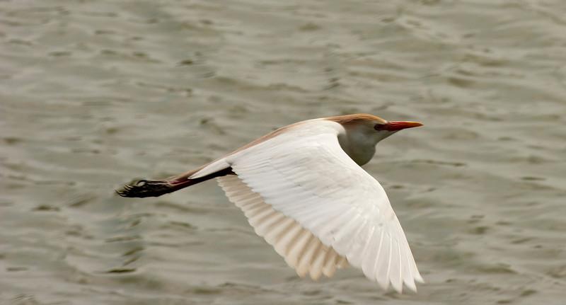Cattle Egret in flight.